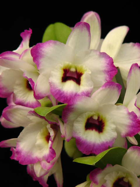 brookside orchids, retail, wholesale hybrids and species, Beautiful flower