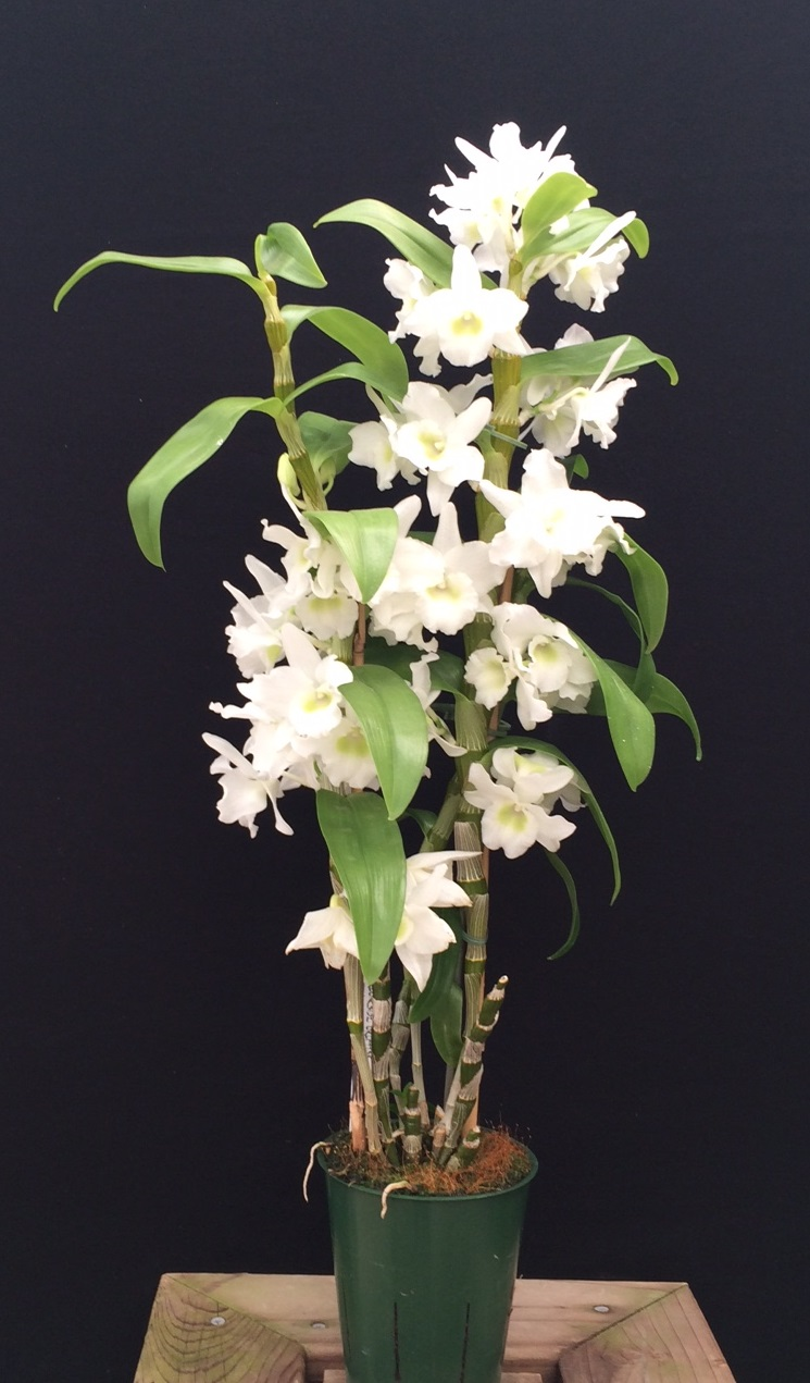 dendrobium nobile hybrids assorted in bloom orchids. Black Bedroom Furniture Sets. Home Design Ideas